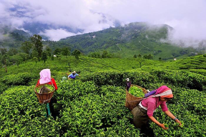 C:\Users\302375\Desktop\munnar-women-plucking-tea-leaves.jpg