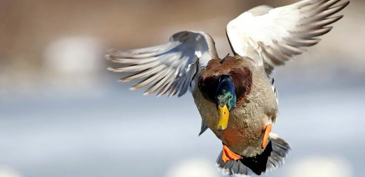 Best Places in the States for Duck Hunting