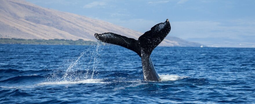 What You Need to Know Before Going for Whale Watching in Maui in December